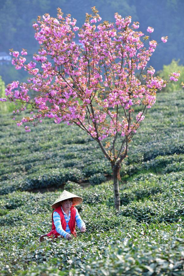 """紫阳工会围绕""""茶农茶歌茶业""""巧做"""