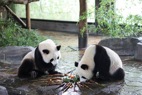 端午节吃粽子,大熊猫、小熊猫、小