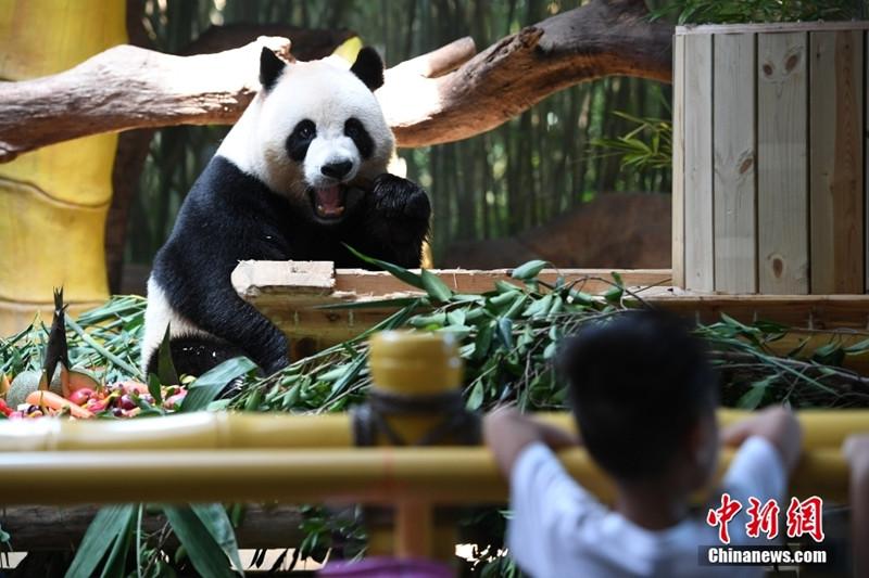 """广州大熊猫三胞胎吃""""月饼""""迎中秋"""